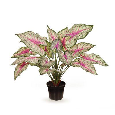 Secret_Blooms_Caladium_Tropical_Plant