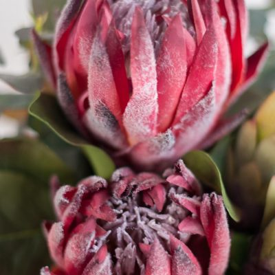 Secret-Blooms-Nicole-Bouquet-Native-Protea