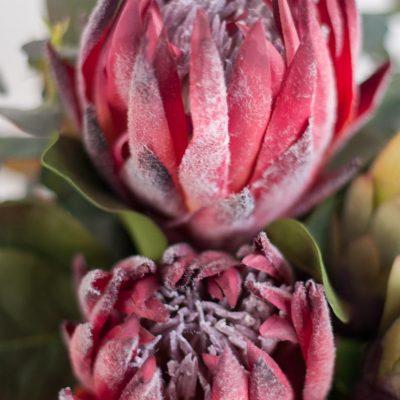 Secret-Blooms-Nicole-Bouquet-Native-Protea