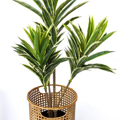 variegated-cordyline-baha-weave-pot