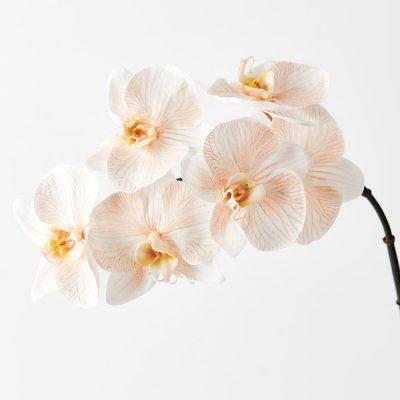 Orchid-Phalaenopsis-Stem-Apricot
